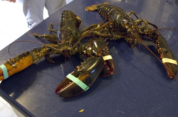 lobster_alive_590_390